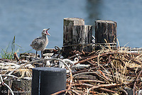 A glaucous-winged gull chick pants in the afternon sun on a piling at the ferry dock to Port Towsend.