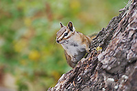 Uinta Chipmunk, Tamias umbrinus, adult, Rocky Mountain National Park, Colorado, USA, September 2006