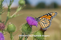 03536-047.07 Monarch (Danaus plexippus) on Pasture Thistle (Cirsium discolor) Prairie Ridge SNA,  Marion Co. IL