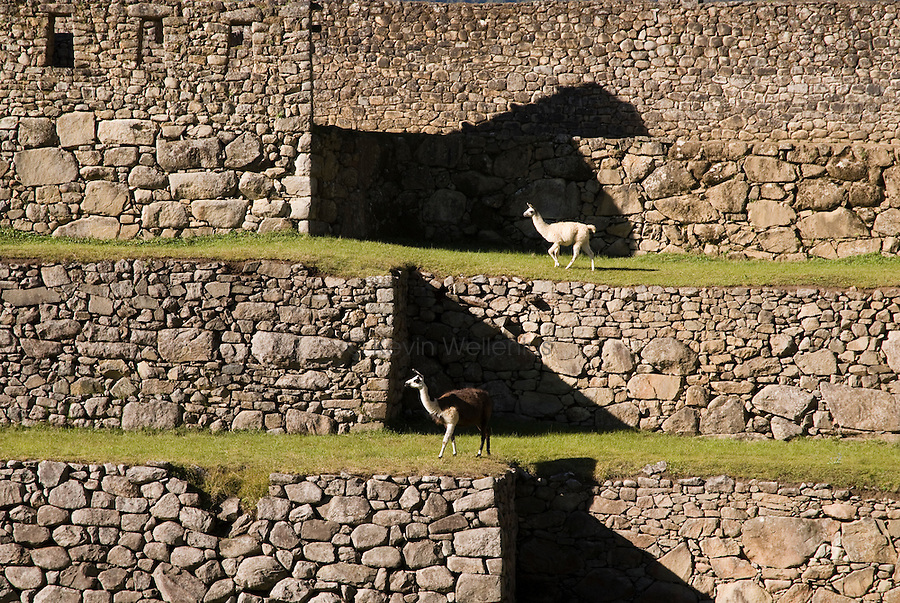 Llamas graze amidst the Inca ruins of Machu Picchu, approximately 75 NW of Cusco, Peru. Machu Picchu is Peru's most important tourist destination.