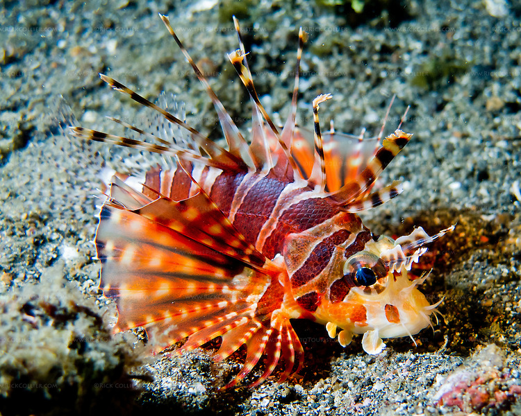 Especially at night, the zebra lionfish were easy to find along the bottom of the Lembeh Strait (North Sulawesi, Indonesia).  I found this small zebra lionfish crawling carefully along in a small depression in the sandy bottom of the Strait.  (night shot)