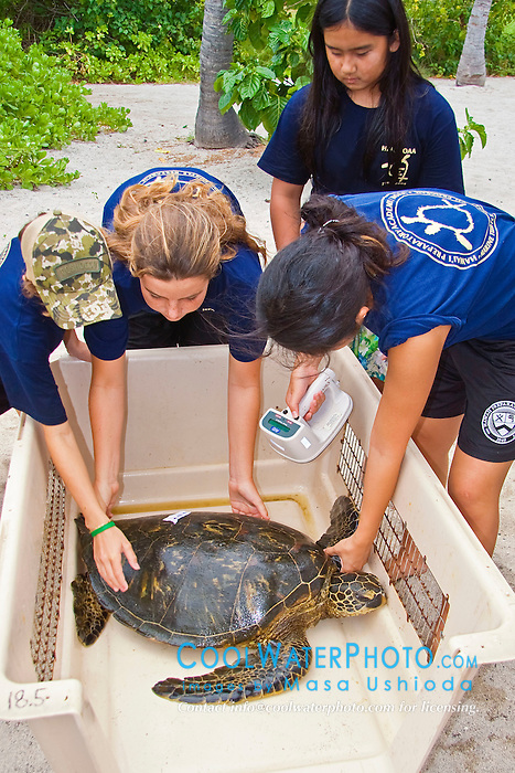 Students from Hawaii Preparatory Academy (HPA), scanning for an existing microchip embedded in the flipper of Green Sea Turtle, Chelonia mydas, Sea Turtle Research station, organized by researcher George Balazs, PhD, NOAA National Marine Fisheries Service (NMFS), HPA students and teachers (NOAA/HPA Marine Turtle Program), and ReefTeach volunteers at Kaloko-Honokohau National Historical Park, Kona Coast, Big Island, Hawaii, Pacific Ocean.