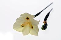 Flores. Moréia ( Dietes bicolor). SP. Foto de Manuel Lourenço.
