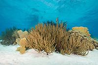 Black Sea Rod, Plexaura homomalla, Bonaire, Netherland Antilles, Netherlands, Caribbean Sea, Atlantic Ocean