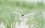 Common Tern (Sterna hirundo), adult in breeding plumage, flying in to land in breeding colony, Nickerson Beach, Long Island, New York, USA