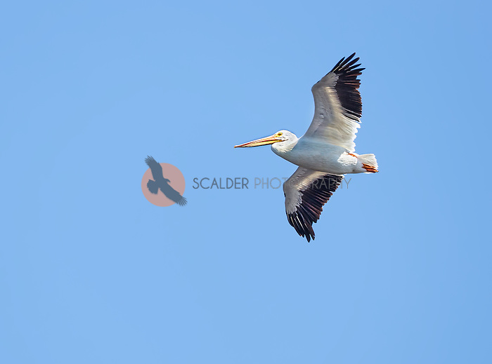 American White Pelican in flight against a bright blue sky