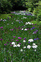 Japanese iris (Iris ensata) display at the Meiji Jingu Gyoen garden, Tokyo, Japan.