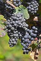 Bunches of ripe grapes. Domaine des Baumard, Rochefort, Anjou, Loire, France