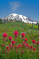 Indian Paintbrush (Castilleja miniata) in . Mt. Rainier National Park, Washington