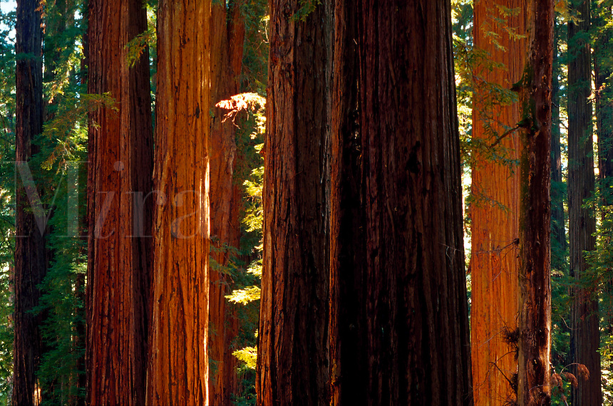 A grove of crosslit trunks of redwood trees.