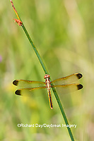 06618-00311 Yellow-sided Skimmer (Libellula flavida) female Cottonmouth Fen Ripley Co. MO