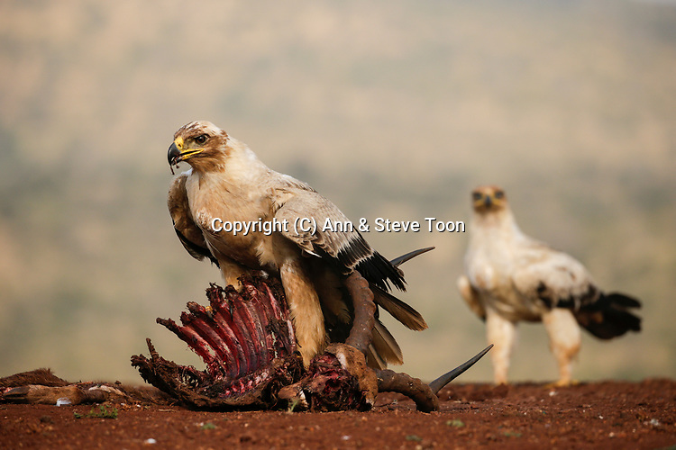 Tawny eagle (Aquila rapax) on carcass, Zimanga private game reserve, KwaZulu-Natal, South Africa, May 2017