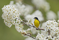 Lesser Goldfinch (Carduelis psaltria), male perched on blooming pear tree (Pyrus sp.), Hill Country, Texas, USA