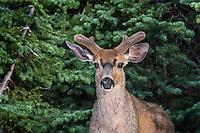 Coastal Black-tailed Deer Buck or Columbian black-tailed deer buck (Odocoileus hemionus columbianus).  Early summer, Pacific Northwest