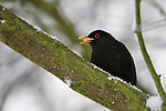 Pix: Shaun Flannery/shaunflanneryphotography.com...COPYRIGHT PICTURE>>SHAUN FLANNERY>01302-570814>>07778315553>>..29th November 2010.........Snowfall in the United Kingdom, November 2010..A feeding Blackbird, sits on a snow covered tree.