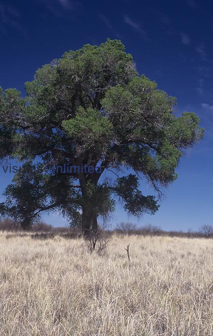 Fremont Cottonwood tree (Populus fremontii), Southwestern USA.
