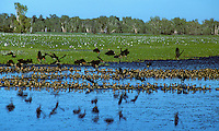Thousands of Whistling Ducks at Yellow waters, Kakadu National Park, Northern Territory, Australia