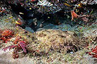 A tasselled wobbegong, Eucrossorhinus dasypogon, under a coral ledge on a reef in Milne Bay, Papua New Guinea, Pacific Ocean The species is a nocturnal predator and is listed as Near Threatened on the IUCN Red List.