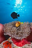 Maldives Anemonefish, Amphiprion nigripes, Felidhu Atoll, Indian Ocean, Maldives