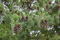 Mazedonische Kiefer, Zapfen, Kiefernzapfen, Rumelische Strobe, Pinus peuce, Macedonian Pine