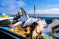 Gill net fishermen bring pelagic thresher sharks, Alopias pelagicus, catch to shore. Huatabampo, Mexico, Sea of Cortez, Pacific Ocean