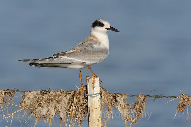 Fresh juvenile Forster's Tern (Sterna forsteri). Malheur County, Oregon. September.