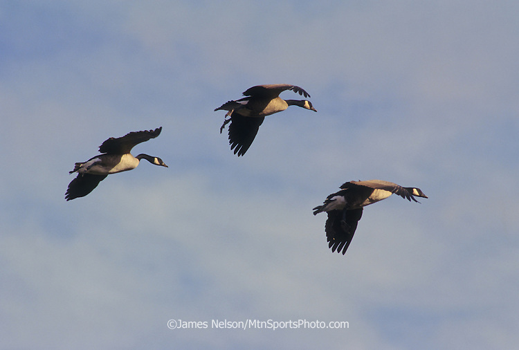 26-176. Canada geese set their wings before landing in southeast Idaho.