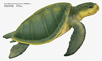Kemp's ridley sea turtle, Lepidochelys kempii, illustration by artist, Wyland
