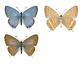 Long-tailed Blue - Lampides boeticus - male (top) - female (bottom)