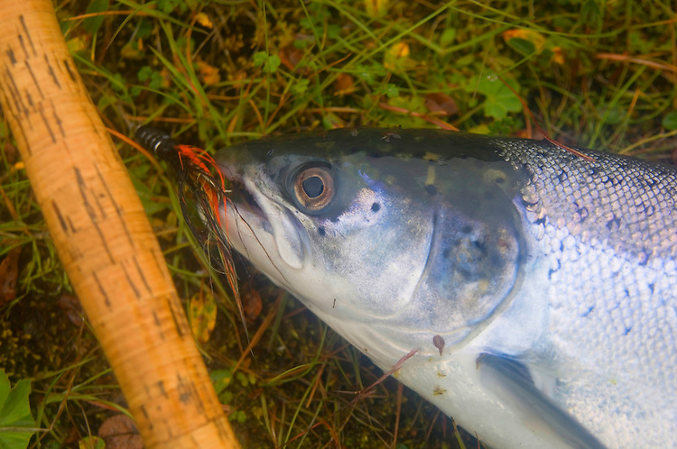 Atlantic Salmon Catch and Release Fly Fishing in Iceland. 6 pound female grilse with Snaelda tube fly in her mouth. Caught in Forseti pool, Svalbardsa river Thistilfjordur
