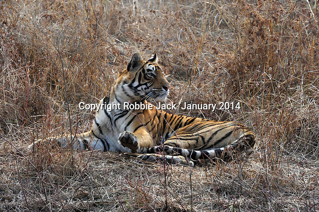 Tiger, Ranthambhore National Park; Rajasthan