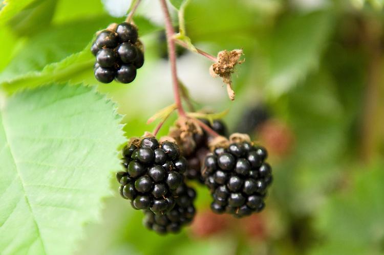 Blackberry 'Loch Tay', early July.