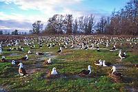 bird flock, Laysan Albatross, Phoebastria immutabilis, nesting colony on Sand Island, Midway Atoll, Papahanaumokuakea Marine National Monumen, Northwestern Hawaiian Islands, or Leeward Islands, Hawaii, USA, Pacific Ocean