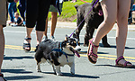 WINSTED,  CT-051819JS09- Dogs and other animals make their way Main Street in Torrington on Saturday during the 83rd annual Rotary Club Pet Parade.<br /> Jim Shannon Republican American