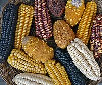 Variedades de milho (choclo) Peru. Foto de Caio Vilela.