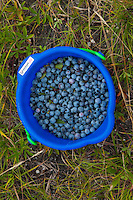 Blueberries in Bucket at Caterpillar Hill, Sedgwick, Maine, US