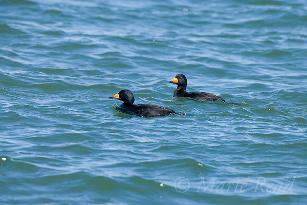 Black Scoters (melanitta nigra), two males in breeding plumage, swimming, Barnegat Inlet, New Jersey, USA