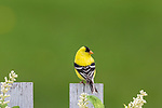 Male American goldfinch perched on a backyard fence in northern Wisconsin.