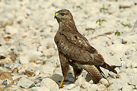 Steppe Buzzard - Buteo buteo vulpinus