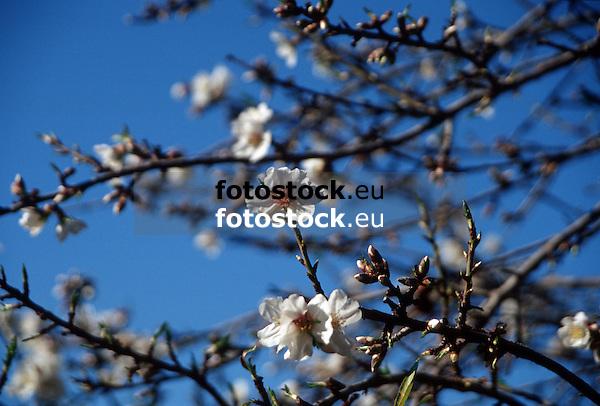 white almond blossoms against deep blue sky in Majorca<br /> <br /> almendro en flor con cielo azul en Mallorca<br /> <br /> wei&szlig;e Mandelbl&uuml;ten gegen tief blauen Himmel auf Mallorca<br /> <br /> bot.: Prunus dulcis / Prunus amygdalus<br /> <br /> 2480 x 1677 px<br /> 150 dpi: 41,99 x 28,40 cm<br /> 300 dpi: 21,00 x 14,20 cm<br /> Original: 35 mm slide transparancy