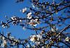 white almond blossoms against deep blue sky in Majorca<br /> <br /> almendro en flor con cielo azul en Mallorca<br /> <br /> weiße Mandelblüten gegen tief blauen Himmel auf Mallorca<br /> <br /> bot.: Prunus dulcis / Prunus amygdalus<br /> <br /> 2480 x 1677 px<br /> 150 dpi: 41,99 x 28,40 cm<br /> 300 dpi: 21,00 x 14,20 cm<br /> Original: 35 mm slide transparancy