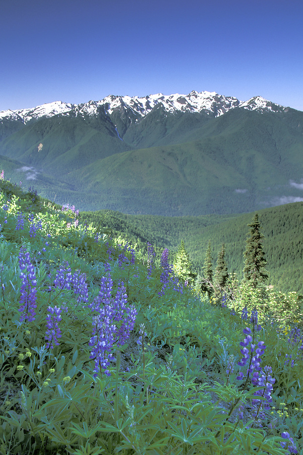 Olympic Mountains rising over wildflowers, Hurricane Hill Trail, Hurricane Ridge, Olympic National Park, Washington