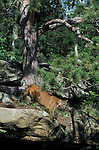 Cougar or Mountain Lion, Felis concolor, Minnesota, on rocky ledge, controlled situation.USA....
