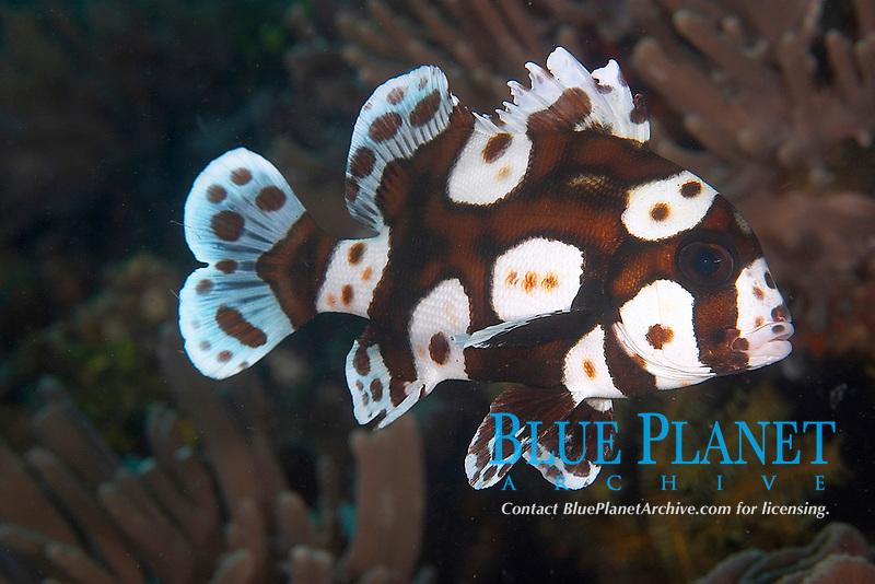 Adolescent harlequin sweetlip (plectorhinchus chaetodonoides) , Tanjung kubuk, Lembeh strait, Celebes sea, Pacific Ocean, Sulawesi, Indonesia, Asia