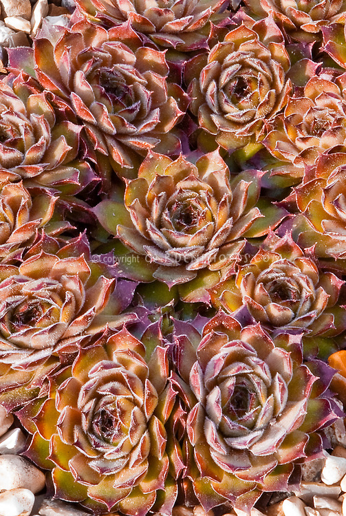 Sempervivum 'Proud Zelda' succulent foliage plant rosettes, copper orange with white woolly coating