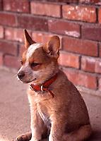 An Australian Cattle Dog, or Red-Heeler,  puppy sits on a sidewalk.    (Photo by Wendy Vignet/www.bcpix.com)