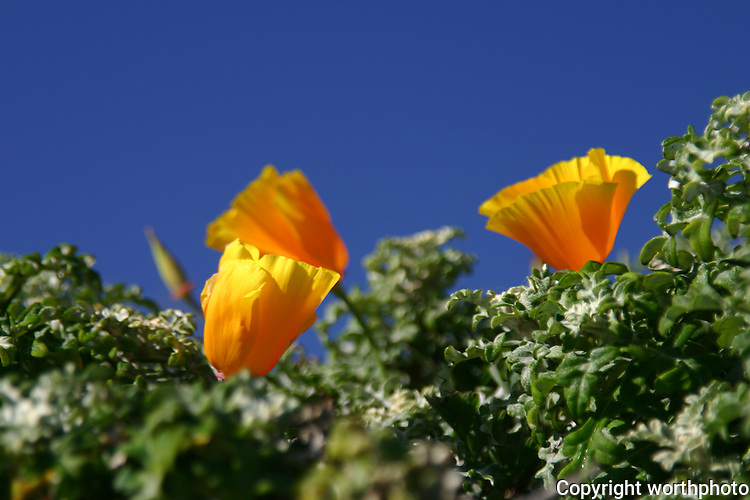 California Poppies in full bloom against a clear blue sky at Pescadero State Beach, California.