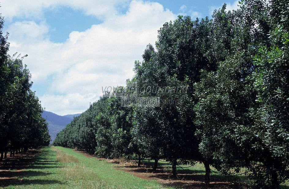 Océanie/Australie/Queensland/Env de Mareeba : Plantation de noix de macadam