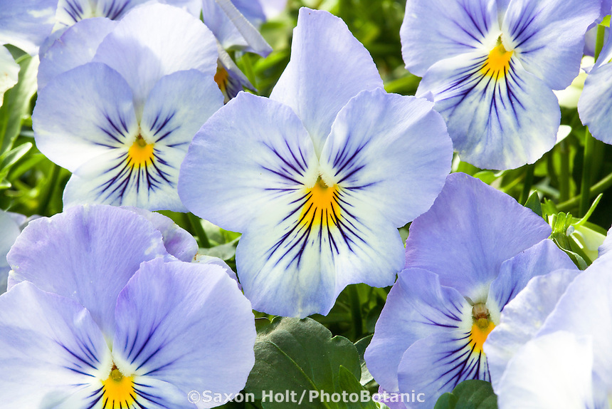 Pansy flower, Viola x wittrockiana, Anytime Quartz Pansiola from Proven Winners