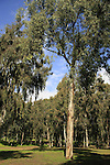 Israel, Sharon region. Eucalyptus trees by at Hayarkon National Park